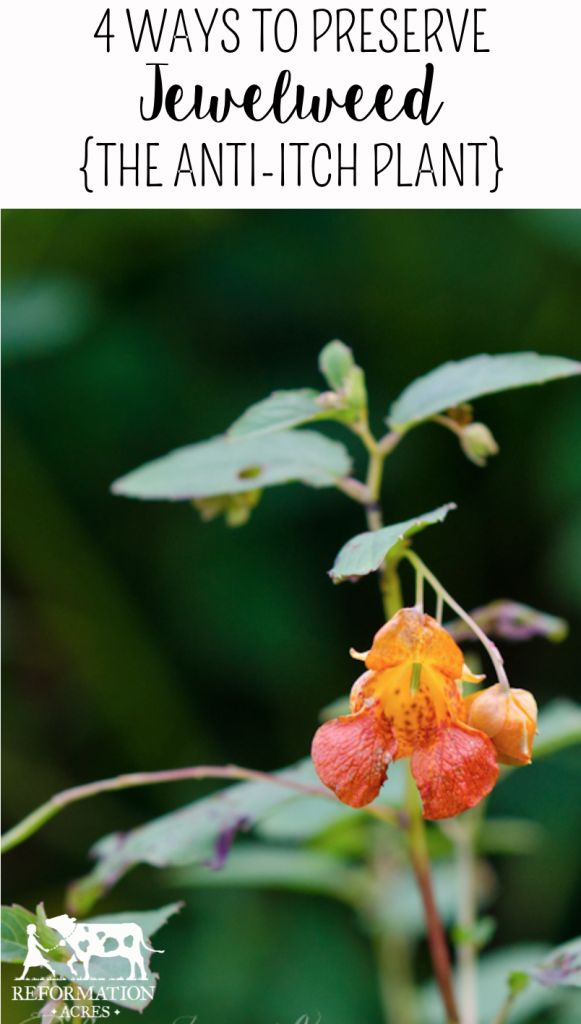 4 maneras de preservar Jewelweed (La Planta Anti-Itch)