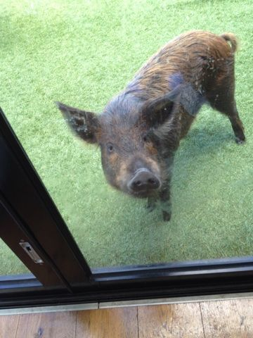 At this job, they had a most unusual pet!! This little piggy lives on the 3rd floor of an apartment building in St Kilda!