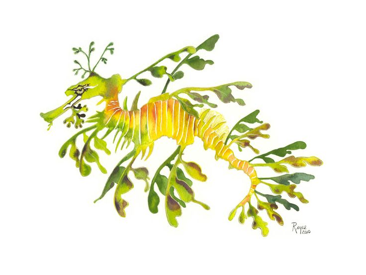 leafy sea dragon art images pictures becuo