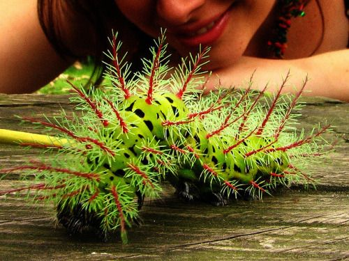 IO MOTH CATERPILLARAutomeris metzli ©AniSuperNova83/ Anna Maria Rincon This large and colorful caterpillar can cause painful  skin eruption (dermatitis) when handled. IO larvae possess many venomous  spines (urticarial hairs) on their body and must be handled with care Another photo here Fact Source:  http://en.wikipedia.org/wiki/Automeris_io Cecropia Caterpillar Luna Moth Comet Moth — jpolch:  Woah.