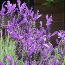 Timely Trim Cut back lavender bushes lightly after flushes of flower. Lavender is a natural insect repellent, so keep stalks in a jar of wa...