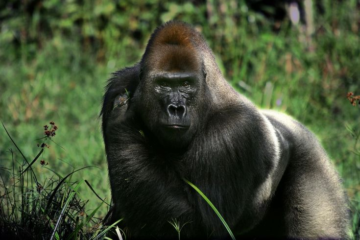 Researchers working in the rainforest of the Central African Republic followed a male silverback gorilla named Makumba (shown here) for 12 months. They found that he could turn on and off his pungent smell depending on the social context.
