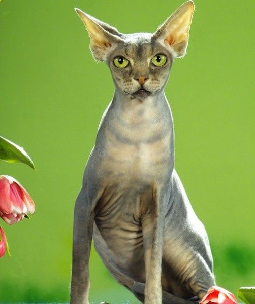 Choosing pets - Sphynx Cat Breed Description Dogs need to be given time to walk around and can not be left alone for a weekend. Cats do not need to go outside and can be alone for up to three days.