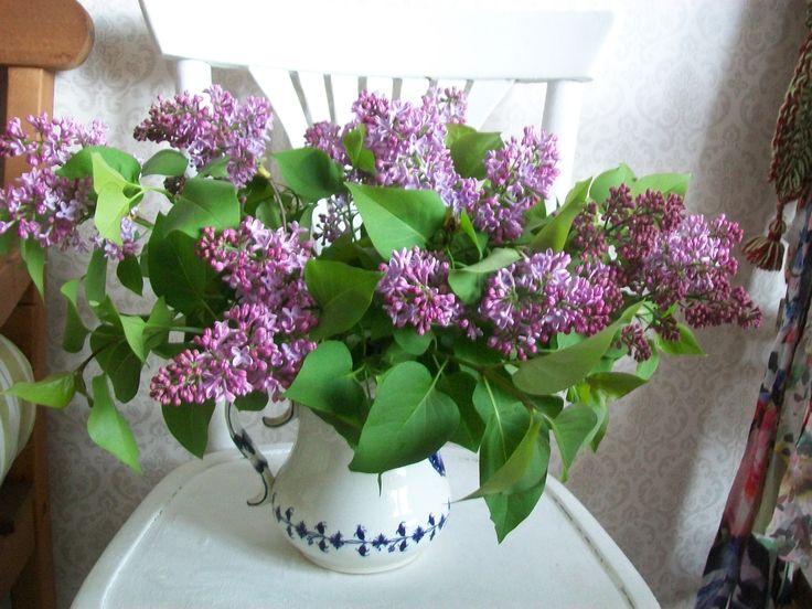 Le lilas et son parfum enivrant