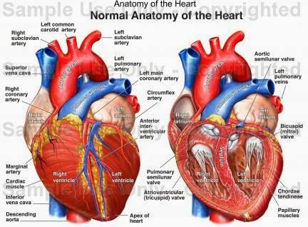 Human Anatomy and Physiology Diagrams: Heart Anatomy