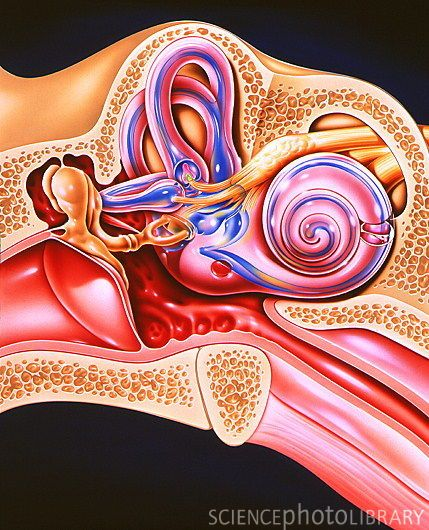 Great general picture of outer ear, middle ear, and the inner ear anatomy!