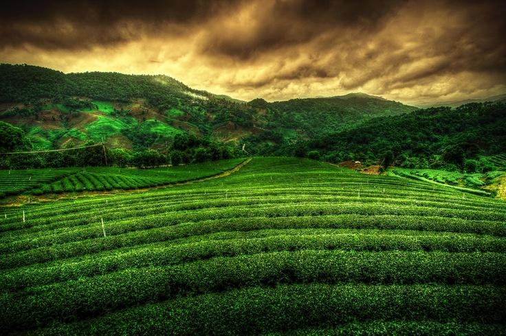 HDR Tea Plantation, Chiangrai, Thailand