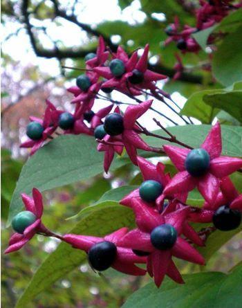 Clerodendrum trichotomum (kransenboom), mooie, bolvormige groeiwijze, geurt naar 'pindakaas', kan tot kleine boom uitgroeien, bloeit pas na paar jaar uitbundig