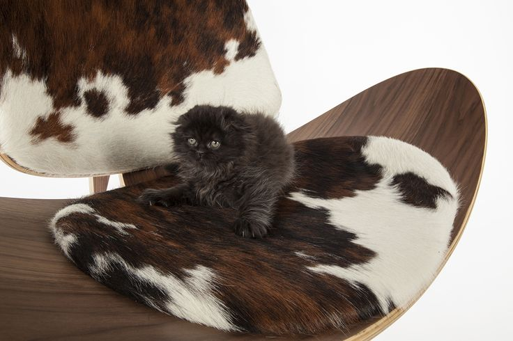 Frenchie on a Hans Wegner replica Ch07 shell chair with a pony hide upholstery. The chair can be found here http://www.franceandson.com/ch07-shell-chair.html #hanswegner #frenchie #cats #midcentury #catsofinstagram #interiordesign