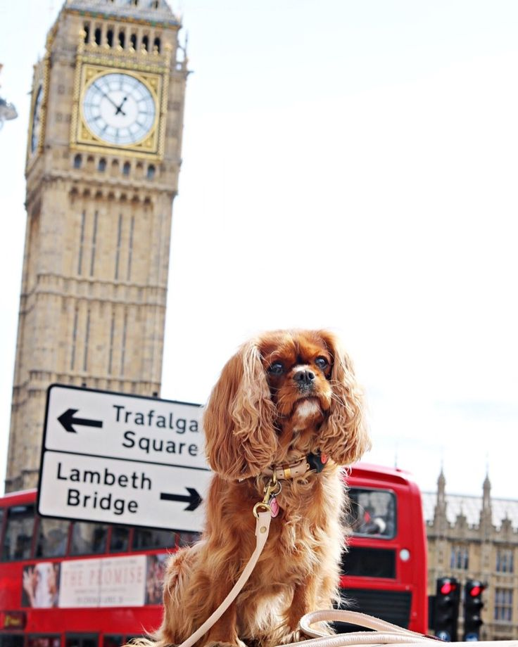 ameliathecav outside big ben tower wearing pitpat activity monitor