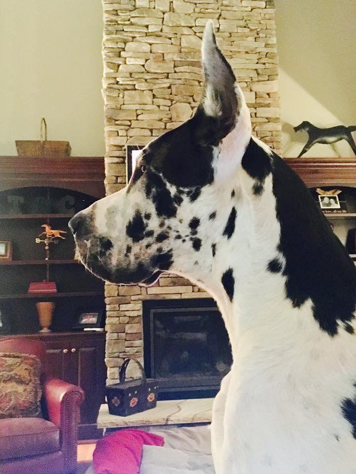 Great Dane Otis Side Profile Great Dane Dogs Harlequin Great