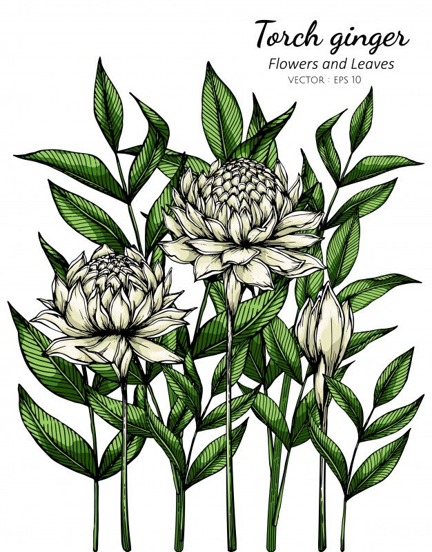 White Torch Ginger Flower And Leaf Drawing Illustration With Line Art On White In 2020 Torch Ginger Flower Ginger Flower Leaf Drawing