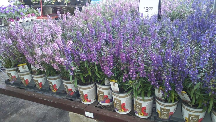 Angelonia is a tough and sustainable plant that can take the Florida Heat , and once established it is drought tolerant too. Plant Angelonia now and it will last until the first killing frost which can be in January for Central Florida…