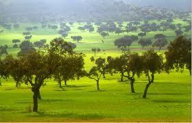 El alcornoque es otro de los arboles propios del bosque mediterráneo pero a diferencia de la encina precisa de ambientes mas templados y mas húmedos.