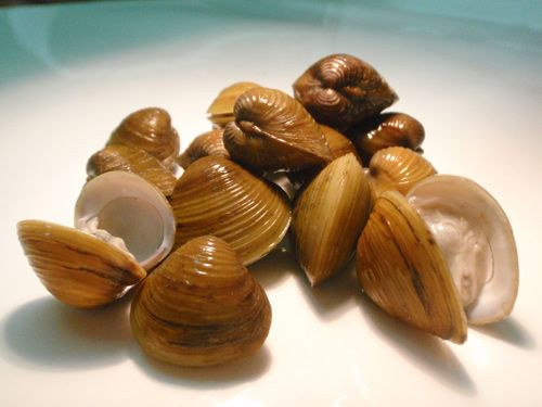 STOP THE ASIAN CLAM - Asian clams.  Read more on this highly invasive clam. http://www.fisheriesireland.ie/Press-releases/stop-the-spread-of-the-highly-invasive-asian-clam-in-ireland.html