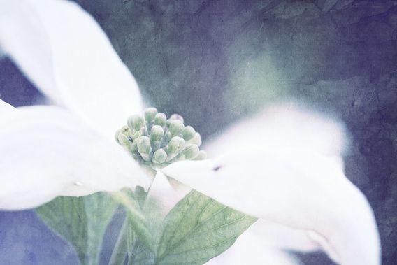 Kauf 'Hartriegel Baum Blume' von Markus Wegner auf Leinwand, Alu-Dibond,