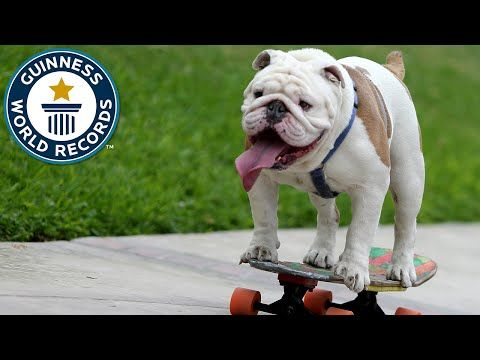 Trendex : WATCH:Otto the Skateboarding Bulldog Sets Record For Longest Human Tunnel Travelled By A Dog