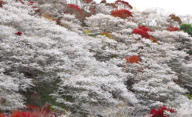 5 Places To See Japan S Very Real Winter Cherry Blossoms Gaijinpot Travel Cherry Blossom Japan Cherry Blossom Blossom