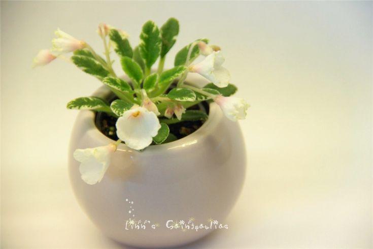 Saintpaulia African Violet Two-W sandellen,By Linn Boa