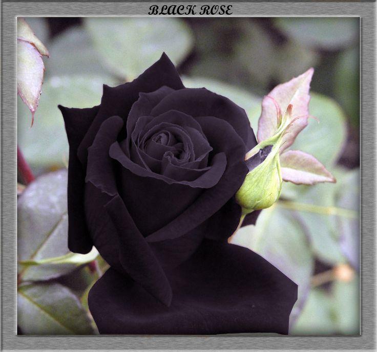 Black Rose Flower | black-rose