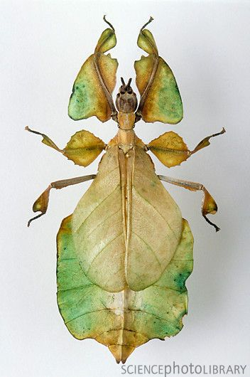 """""""Walking Leaf"""" insect ~ from the Walking Stick family of insects."""