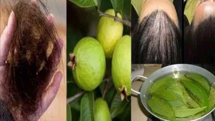 Estas hojas detienen la pérdida del cabello al 100% y hacen crecer tu cabello a lo loco! Comprobado  http://ift.tt/2gSEyyo  Estas hojas detienen la pérdida del cabello al 100% y hacen crecer tu cabello a lo loco! Comprobado!! Las hojas de guayaba puede prevenir la pérdida de cabello y se ha demostrado que son muy eficaces para aumentar las plaquetas de los pacientes que sufren de la fiebre del dengue. Esto es fantástico. Los especialistas afirman que estas hojas pueden evitar y superar la…