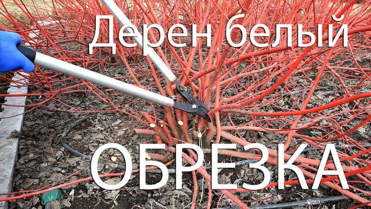 "Советы. Обрезка Дерен белый ""Сибирика Вариегата"". Pruning shrubs Cornus ..."