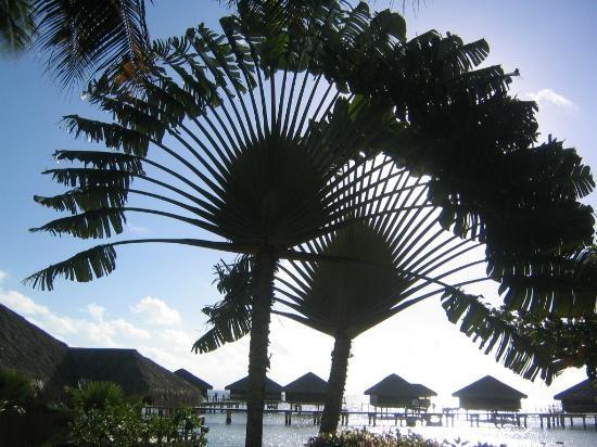 Traveler's tree in Tahiti - Te tiare Manihi