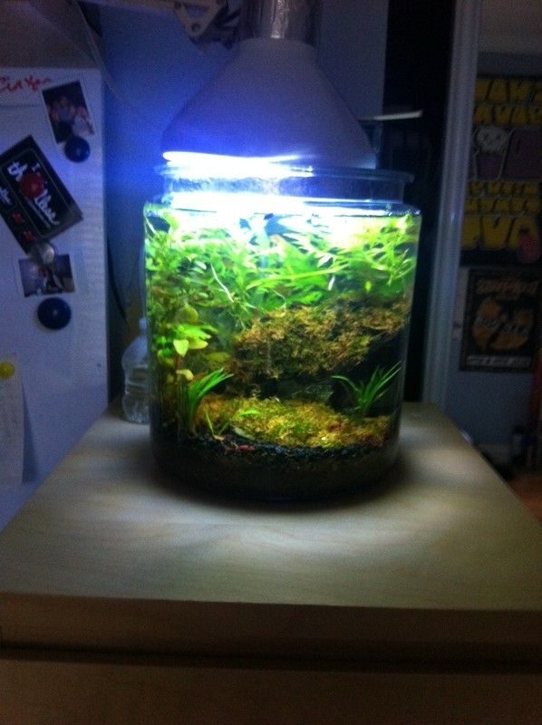 2 gallon planted cookie jar freshwater saltwater for Fish for 2 gallon tank