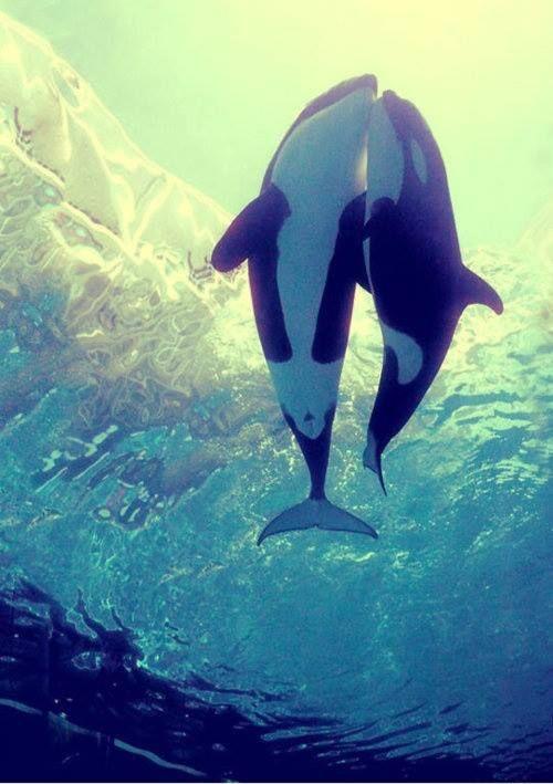 虎鯨 Orca