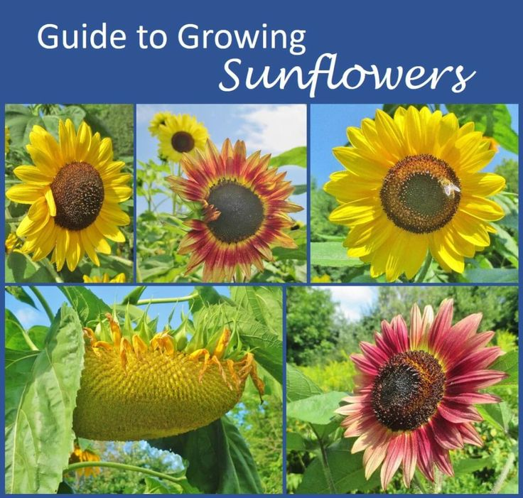 Tricks for growing healthy sunflowers. From One Acre Farm: how to plant and thin sunflower seeds; common problems, pests and diseases; how sunflowers are pollinated; how to choose varieties; and how to harvest sunflower seeds.