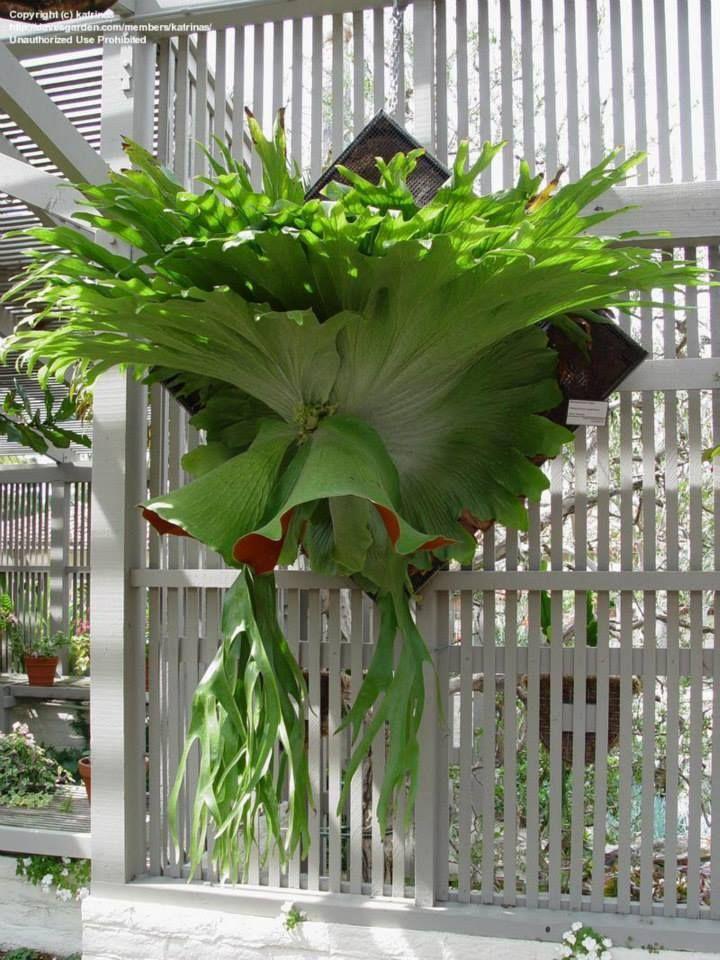 Chifre de Veado (Platycerium bifurcatum) - um tipo de samambaia exótico e exuberante. https://www.facebook.com/Raizes.Folhas