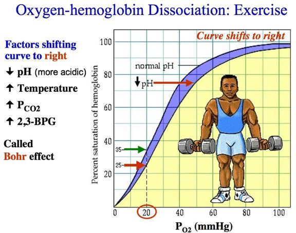 Oxygen-haemoglobin dissociation curve / the Bohr Effect - http://en.wikipedia.org/wiki/Bohr_effect Haemoglobin's oxygen binding affinity is inversely related both to acidity + to the concentration of CO2. A decrease in blood pH or an increase in blood CO2 concentration = haemoglobin proteins releasing  their oxygen; a decrease in CO2 or increase in pH will result in haemoglobin picking up more O2. As CO2 reacts with H2O to form carbonic acid, an increase in CO2 results in decreased blood pH.