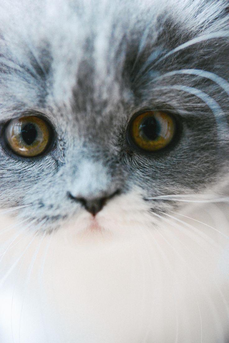 Mon parcours de maman chat. Chaton gris bicolore bleu et