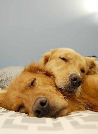 I want another golden retriever