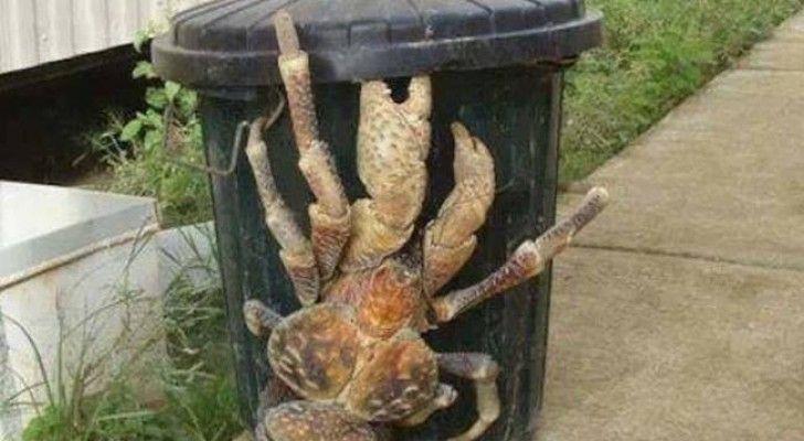 Zijn Krabben Mooi? Vergeet Het Maar, Deze Enorme Krab Kan Kokosnoten Openbreken