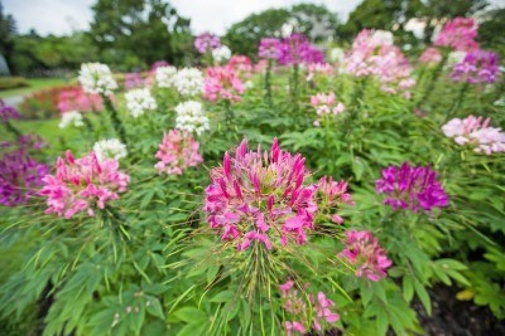 Cleome ( Spinosa )