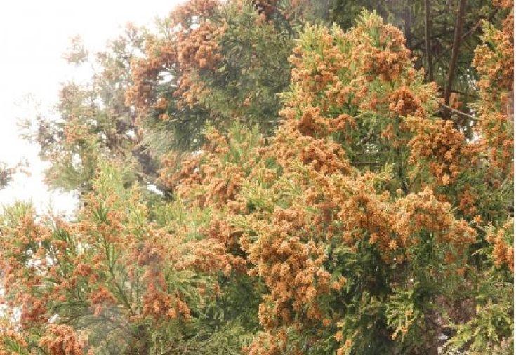 0420 花粉症の本当の原因   花粉が飛ぶ2月から5月までに起こるアレルギー性鼻炎やアレルギー性結膜炎を花粉症と呼んでいます。 しかし、花粉症の原因は花粉なのでしょうか。 花粉症の原因には、いろんな説があります。 昭和30~40年代に成長が早いスギを大量に植樹したからだという説もあります。 しかし、屋久島には大気が黄色くなるくらいスギ花粉が飛ぶそうですが、花粉症の人は少ないと言います。 大気汚染による化学物質が花粉とくっついて体に入るという説もあります。 花粉症になる環境でいうと、両方ともが原因なんだと思います。