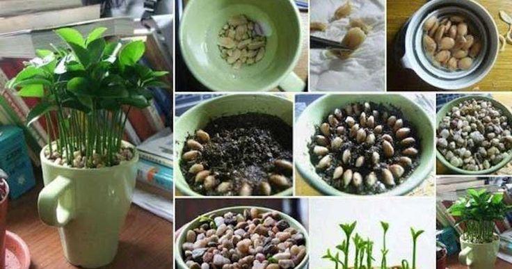Come far crescere un albero di limoni da una tazza: ecco i trucchi per coltivarlo. - http://frasideilibri.com/come-crescere-albero-limoni-tazza-trucchi-per-coltivarlo/