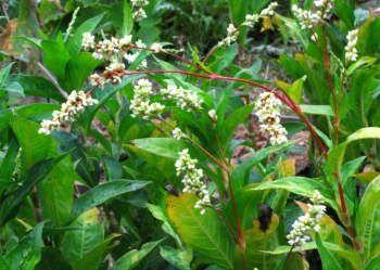 Dye Plant Seeds | Wild Colours natural dyes Japanese indigo