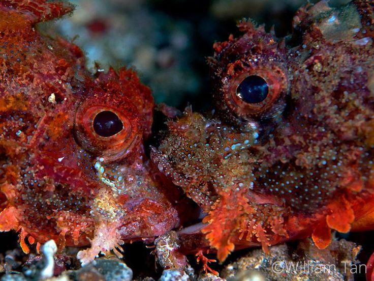 Tasseled Scorpionfish (Scorpaenopsis oxycephala) in a territorial fight.  #TheGoodTheBadandTheUgly #Diving #Lembeh #Underwaterphotography Photo by William Tan