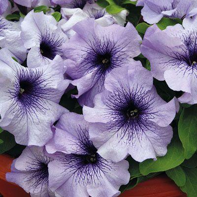Petunia 'Limbo Blue Vein'