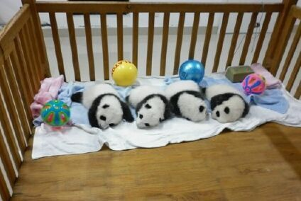 Four panda sleeping together, so cute
