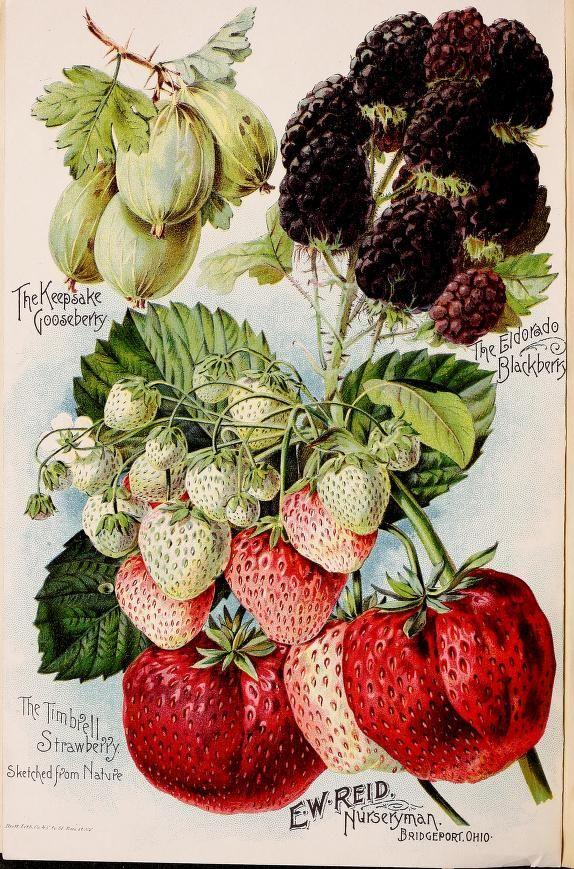 Fruit illustrations (The Keepsake Gooseberry, The Eldorado Blackberry and The Timbrell Strawberry - sketched from nature) taken from 'Reid's Nurseries' catalogue 1894.' F. W. Reid, Bridgeport, Ohio. Cornell University Library Biodiversity Heritage...