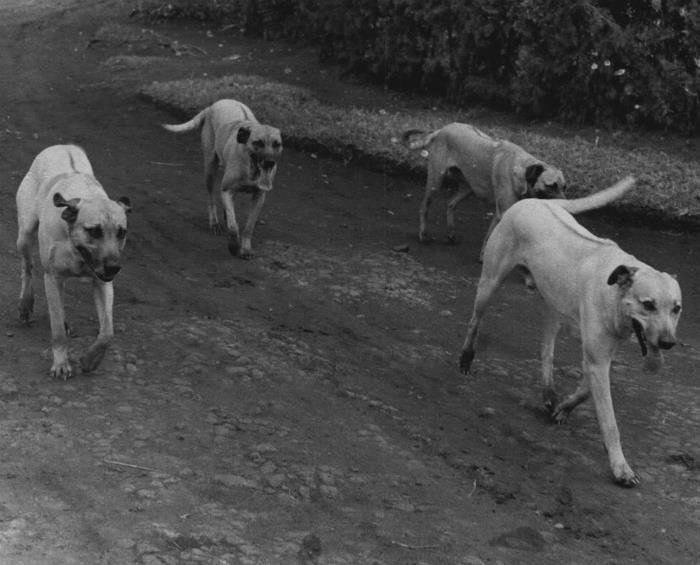 1956 Rhodesian Ridgebacks