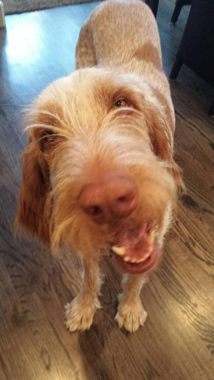 Image of italian spinone brown roan young puppy blue sitting cute - Happy Spinone Sal