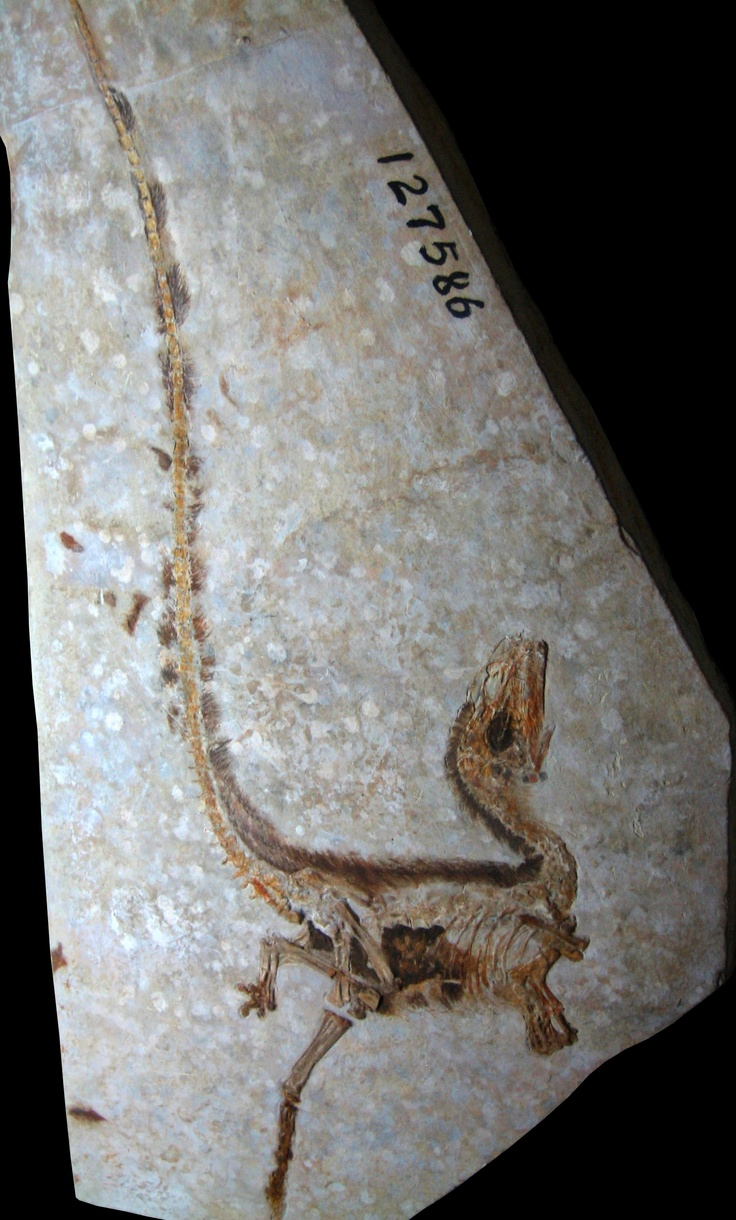 Sinosauropteryx: The first genus of dinosaur outside of Avialae (birds and their immediate relatives) to be found with evidence of feathers. Which can be seen clearly in this gorgeous fossil.
