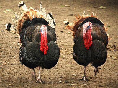 Dunia Cara Ternak Hewan - Peluang Usaha Sampingan: Tips sukses cara beternak ayam kalkun dijamin untu...