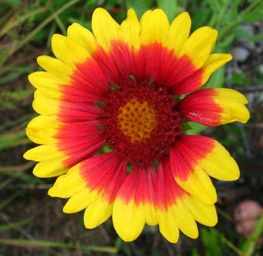 Oklahoma Designated Indian Blanket Gaillardia Pulchella As The Official State Wildflower In