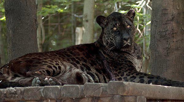 tiger leopard hybrid